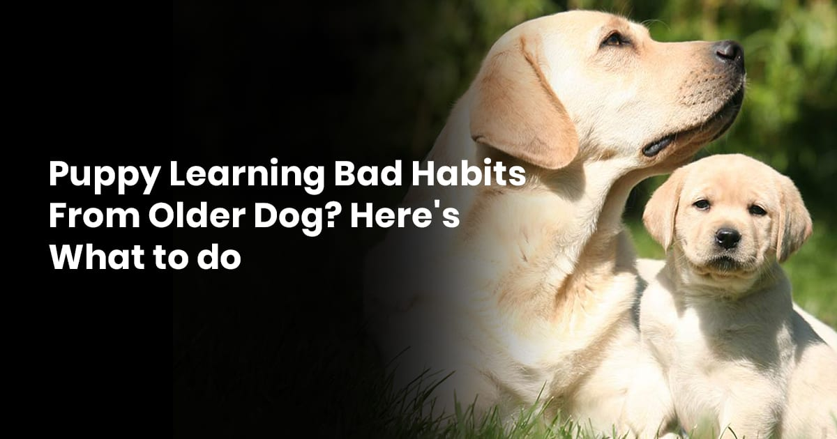 Puppy Learning Bad Habits From Older Dog Heres What to do