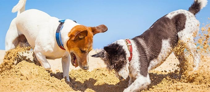 Two Dogs Digging Hole