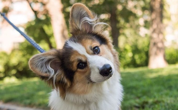 Dog Head Tilt