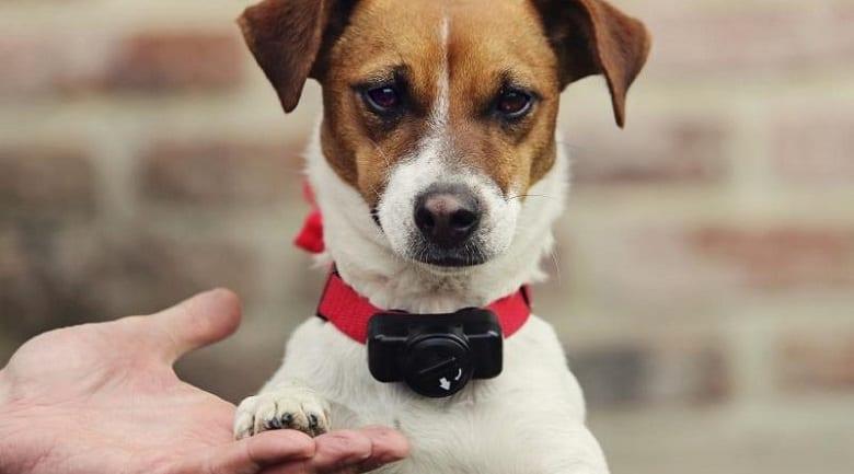 Vibration Collar on Dogs