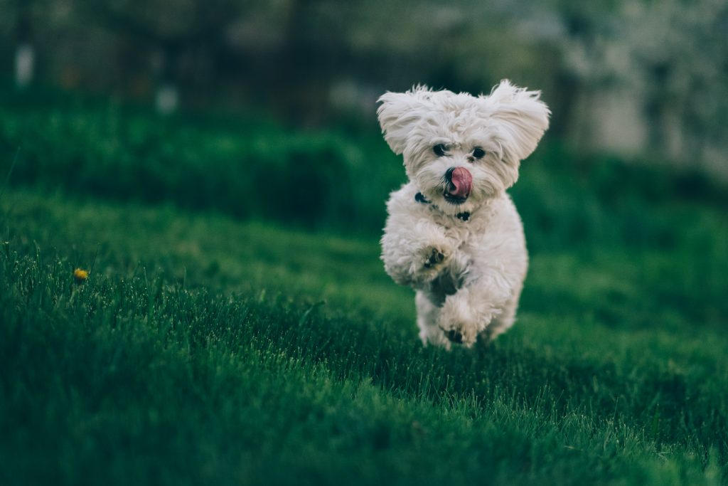 Top 10 Most Trainable Small Dog Breeds - Bichon Frise