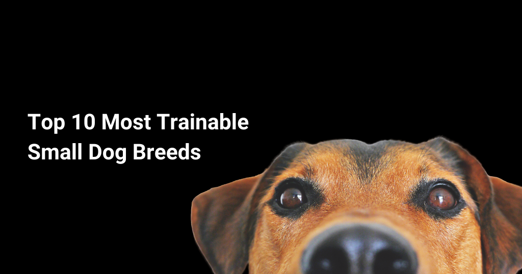 Top 10 Most Trainable Small Dog Breeds